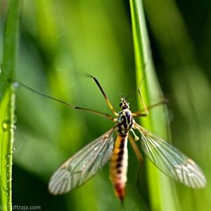 Mosquito macro photo