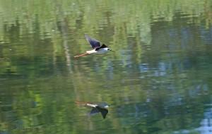 Lep odsev letečega polojnika v vodi