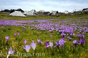 Pogled na pastirske koče preko vijolične preproge iz žafranov